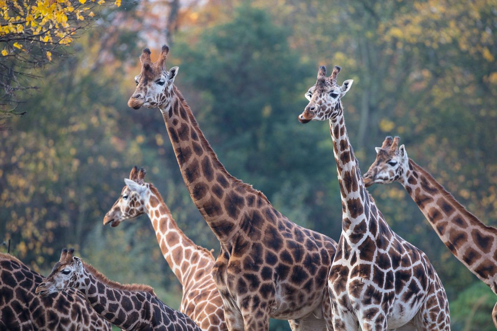 Giraffe Dublin Zoo